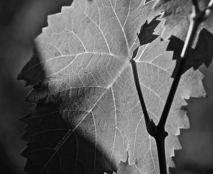 grape-leaf-in-black-and-white.jpg (4222×3456)
