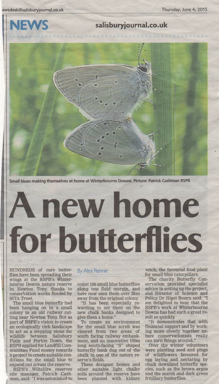 Conservation of rare small blue butterfly at the RSPBs Winterbourne Downs nature reserve at Newton Tony.