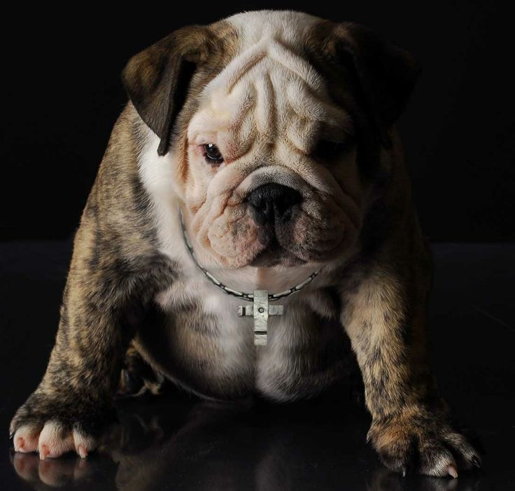 """Bulldogs are famed for their """"no worries"""" attitude, but our model looks pretty tough in his sterling silver cross from the Ixion Collection. https://www.facebook.com/InutiDesignerJewelleryLtd"""
