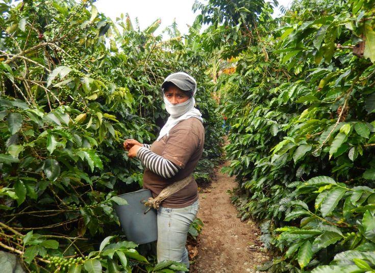 En la Hacienda Combia, en Calarcá (Quindío), es común encontrarse con las personas que recolectan el café. Foto: Juan Uribe