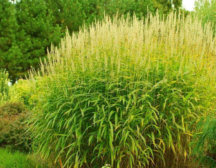72 best ornamental grass images on pinterest for Best decorative grasses