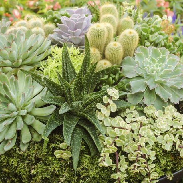 Spring Garden Ideas spring planters spring garden display A Variety Of Succulents Growing Together In A Large Pot
