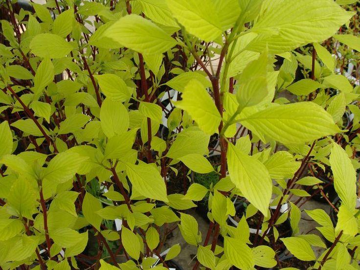 cornus alba 39 aurea 39 cornouiller arbustes fleurs. Black Bedroom Furniture Sets. Home Design Ideas