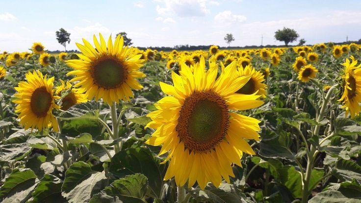 Die Region Neusiedler See ist gekennzeichnet durch viele Sonnenstunden und das milde pannonische Klima. Die Sonnenblumen erstrahlen mit ihrer Pracht im Sommer.