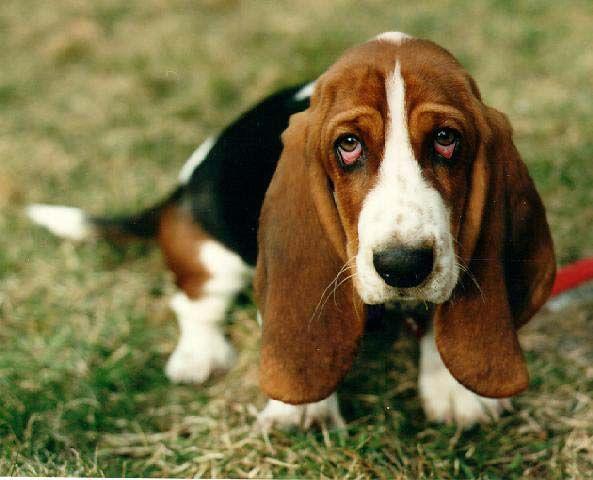 Basset Hound: Droopy Eye, Hound Dogs, Sad Eye, Old Dogs, Puppies Eye, Bassett Hound, Hair Style, Basset Hound, Bassethound
