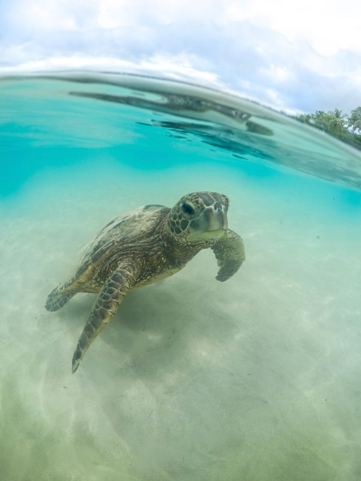 This little honu(sea turtle) swam up to me at the beach - Imgur