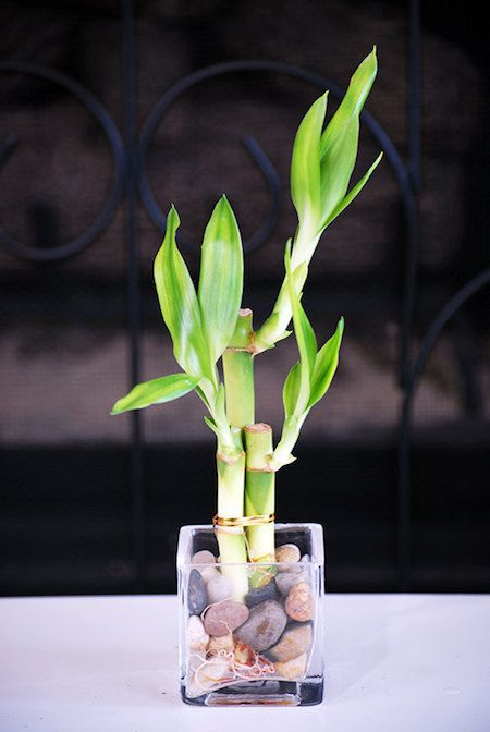 Lucky Bamboo Plant. Bamboo purifies the air in your home. Pretty AND good for you!