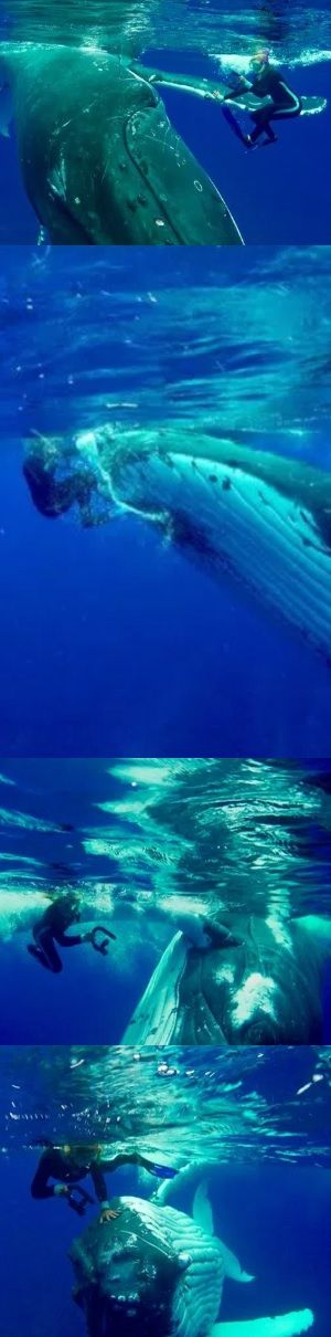 Amazing Moment Hero Whale Saves Snorkeler From Shark By Hiding Her Under Giant Fin While Pushing Her To Safety (VIDEO)