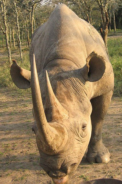 http://www.pinterest.com/kevinjmahoney/animal-kingdom/  Black Rhino, Kenya