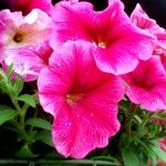 How to root petunia plants.