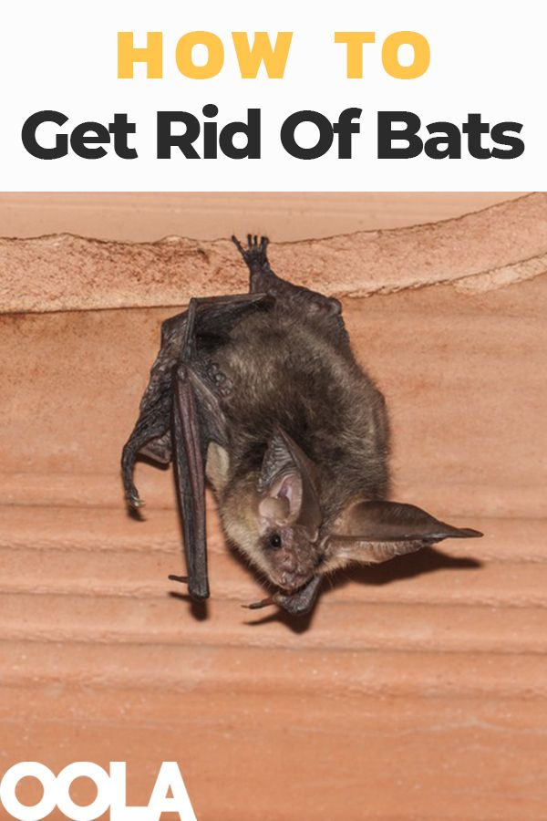 How To Banish Bats From Your House Bat Repellent Bats In Attic Getting Rid Of Bats