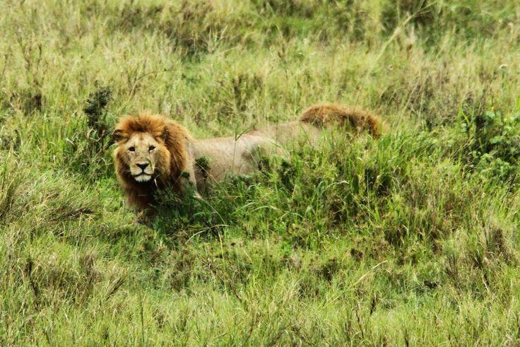 Em viagem pelo Serengeti demos de caras várias vezes com grupos de leões. Uns mais próximos, outros mais distantes, a verdade é que um encontro com estes animais é sempre memorável. Os primeiros que encontramos estavam longe. O macho estava relaxado na sombra de uma árvore e as fêmeas aguardavam o momento da caça. Da …