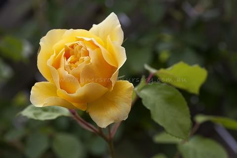 A medium cupped bloom in an unusually rich deep yellow colouring which is rare even among modern roses. Named for one of the most influential gardeners of our time. Fragrance:...