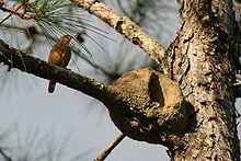 The Rufous Hornero (Furnarius rufus).