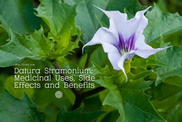 Datura Stramonium: Medicinal Uses Side Effects and Benefits - @psyminds17