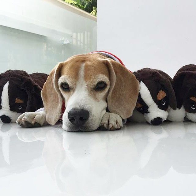 beagle all the way