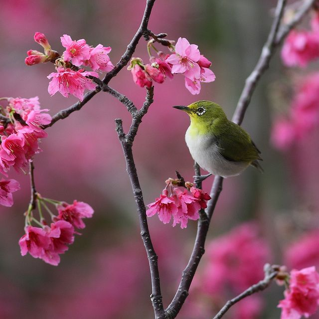Japanese white-eye 小綠賞櫻 by Thunderbolt_TW, via Flickr