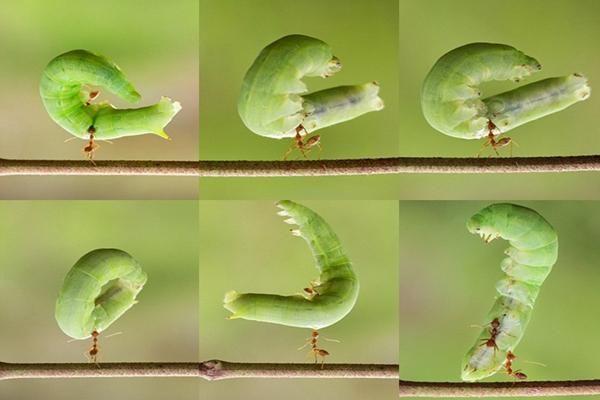 Foto semut perkasa dari Sambas, Kalimantan Barat, ini pernah menghebohkan media Inggris.