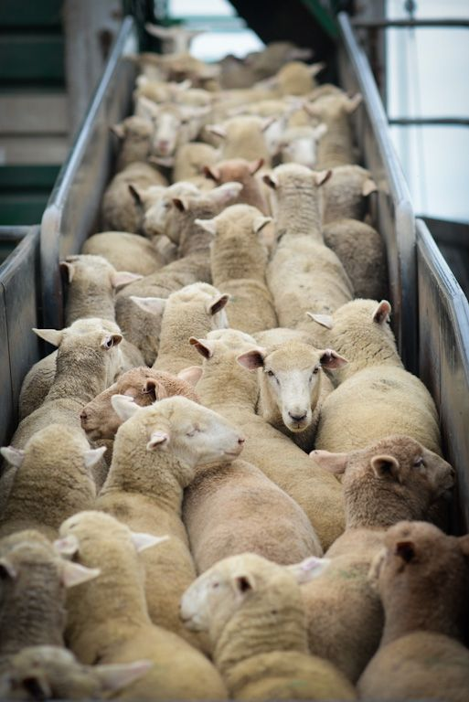 The Hidden Lives of Australian Sheep | Action Alerts | Actions | PETA - I pledge to never use wool