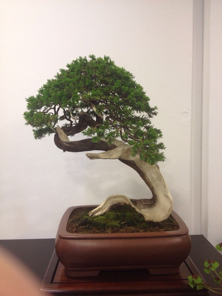 Dallas Bonsai Trees