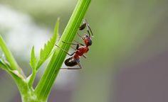 Ameisen vertreiben -  Ameisen sind eigentlich ausgesprochen nützliche Tiere, denn sie übernehmen in der Natur die Rolle der Gesundheitspolizei. Leider haben Ameisen aber auch ein paar Eigenschaften, die Hobbygärtnern das Leben schwer machen können. Das können Sie tun, wenn die Insekten lästig werden.