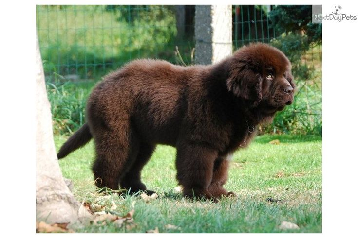 Best Newfoundland Puppies For Sale in Michigan