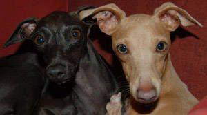 Piccolo Levriero Italiano (Levrieri) - Scheda, standard e foto del cane di razza Piccolo Levriero Italiano su Leonberger.net