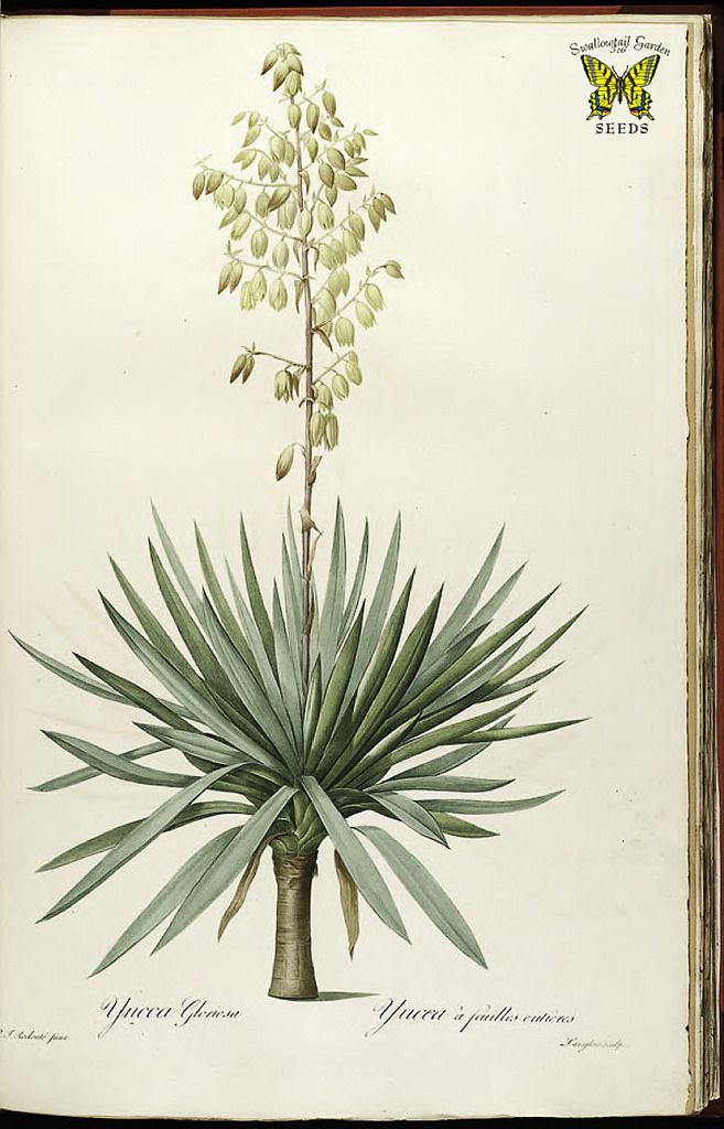 Yucca gloriosa, Spanish dagger, Spanish bayonet. An evergreen shrub, sword-like leaves and 8 foot panicles of white (sometimes tinged purple or red) bell-shaped flowers. Native to the southeastern U.S. By P.J. Redouté (1827-1833) | From the botanical illustration collection of Swallowtail Garden Seeds.