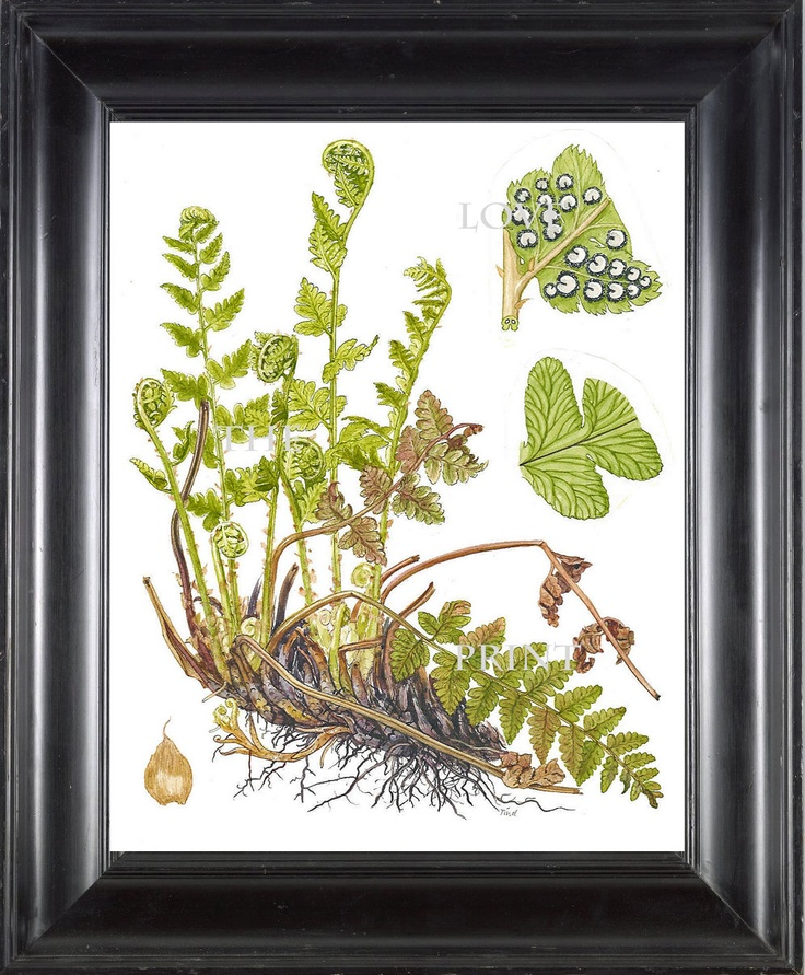 ANTIQUE FERN Lindman 8X10 Botanical Art Print 4 Antique Beautiful Green Ferns Forest Nature Natural Science to Frame Wall Decor. $10.00, via Etsy.