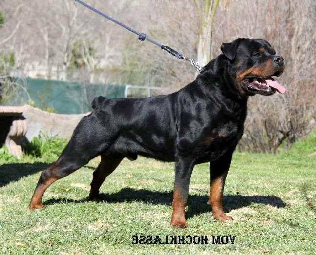 American Rottweiler Breeder In 2020