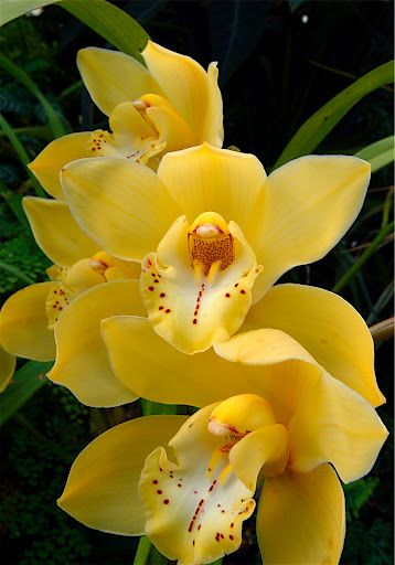 Yellow orchids...