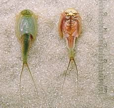 triops prehistoric creature still around today - Google Search