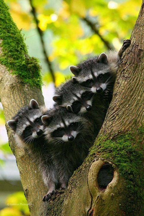 magicalnaturetour:  raccoon babies by beth & jeremy jonkman