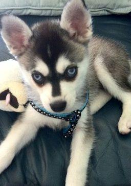 Alaskan Klee Kai Mini Husky | Husky Puppy Pictures