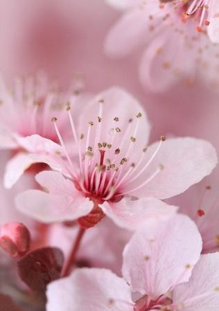 Plum tree blossom- just as pretty as the japanese cherry blossom