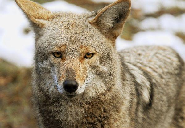 Coyote Mix With German Shepherd