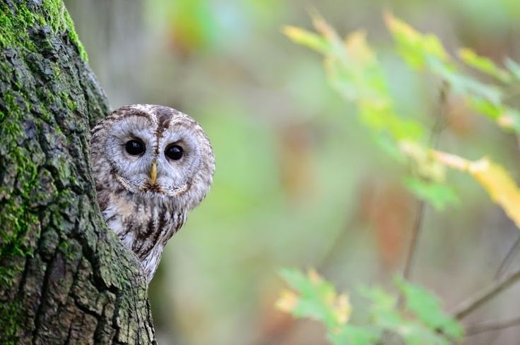 Chouette Hulotte // Waldkauz // Aluco // Tawny Owl (Strix Aluco) by schina24 and shared by Owl City on G+ ~~ Troooooop mignonne, elle fait définitivement partie de mes favorites cette hulotte :⟩ #owls #birds #rapace #oiseaux #animaux #animals #nature #photography #faune #sauvage #fauna #wildlife #chordata #strigidae #strix