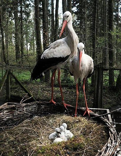 A pair of storks look after their four chicks in the wildlife park in Eekholt, Germany.