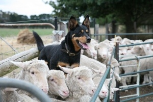 Australian Kelpie - good at herding and jumping all over sheep haha - That's my dog breed! :)