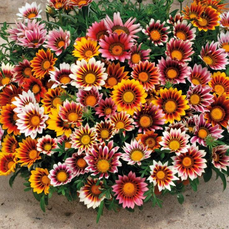 plante plein soleil gazanie- la Gazania jolies à pétales en nuances variées