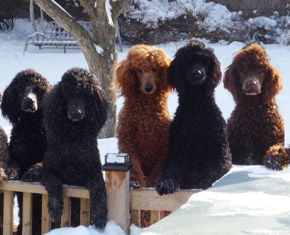 Poodles!