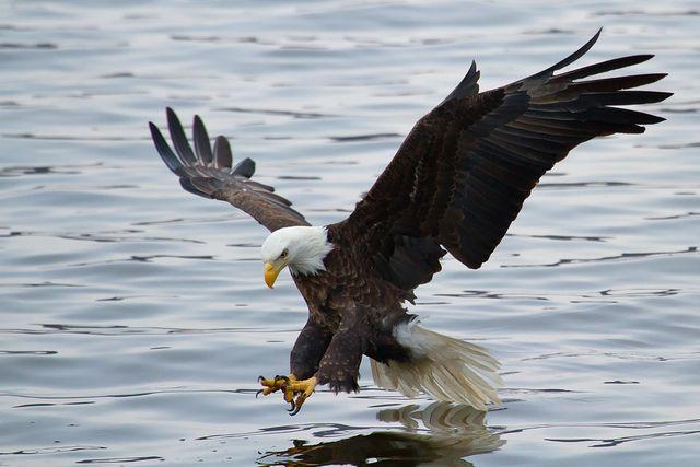 Bald Eagles on the Mississippi River.