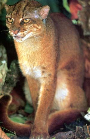 This is an extremely rare, highly endangered small wild cat which is only found on the island of Borneo. It wasn't until 1998 that live Bornean Bay Cats were actually photographed, so very little is known about them. They grow to around 22 inches in length, and vary between 5 and 10 pounds; it's likely that like most other types of felines, the males grow much larger than the females. They hunt at night for birds, rodents, and sometimes monkeys. They appear to be related to the Asian Golden…