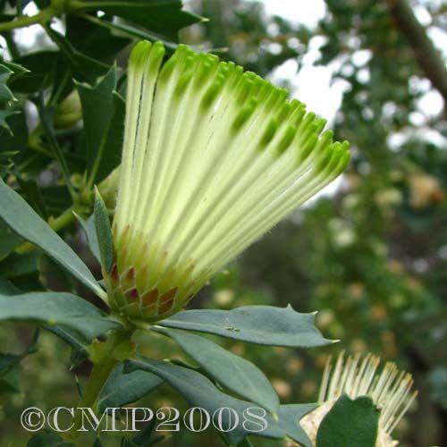 Dryandra ferruginea