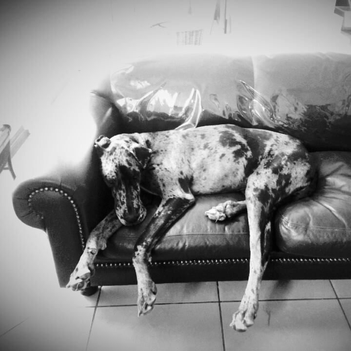 Great Dane sleeping on the leather couch