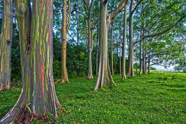 O Eucalipto Deglupta ou simplesmente Eucalipto Arco-Íris, é uma árvore nativa de Nova Guiné, Indonésia ou sul das Filipinas e podem ultrapassar os 12 metros de altura. Sua característica mais marcante é, claramente, a coloração de seu tronco.