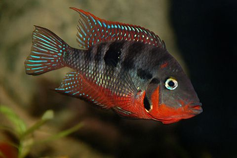 Firemouth Cichlid | Central American | American Cichlids | Fish | Smiths Aquarium