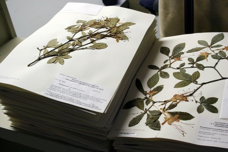 17 best images about shrubs on pinterest sun search and plants - Model herbarium ...