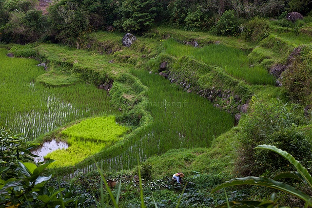 Paddy fields, Tana Toraja by Marji Lang, via Flickr