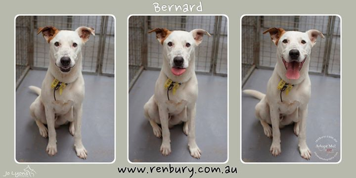 Check out Mr Bernard... such an entertaining pup he is! He is microchipped so will hopefully go home, but he is available to adopt from Renbury Farm Animal Shelter should his family not come for him. He's a big boy and needs to learn some manners but he h | by Jo Lyons Photography